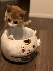 招き猫に招かれた猫